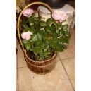 róża w donicy