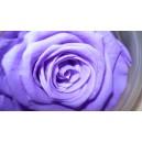 nowość-wieczna róża